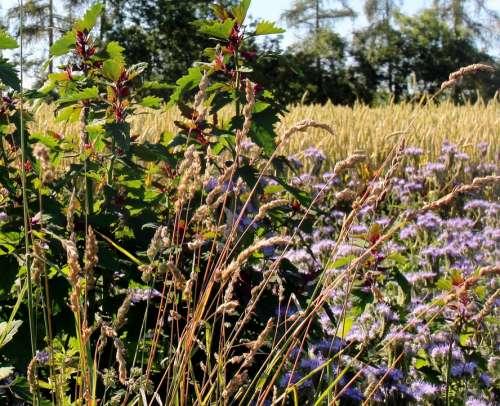Landscape Cornfield Flowers Spike Trees Summer