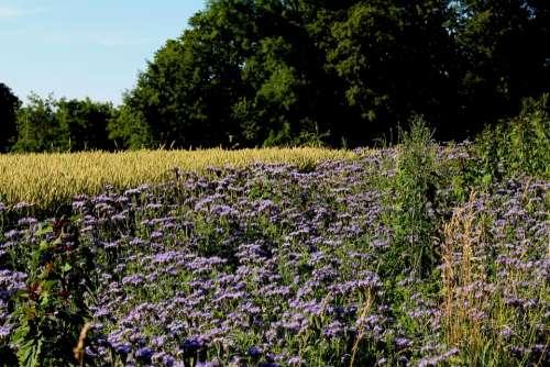 Landscape Flowers Cornfield Forest Mood Color