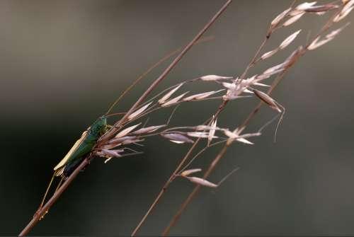 Langflüglige Sword Cricket Conocephalus Fuscus Males