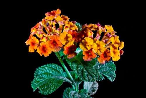 Lantana Lantana Camara Ornamental Plant Orange