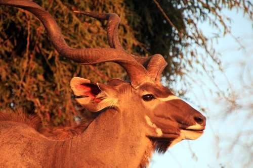 Large Kudu Antelope Africa South Africa Nature