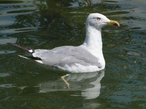 Larus Michahellis Seagull Yellow-Legged Gull