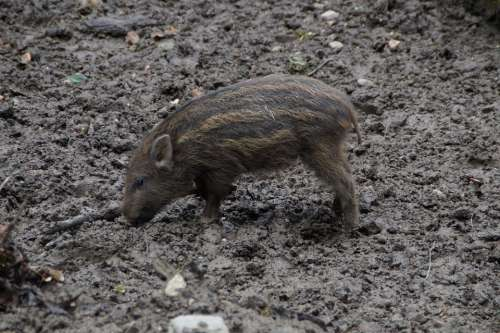 Launchy Boar Pig Young Child Piglet Striped