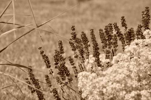 Lavender Sepia Flowers