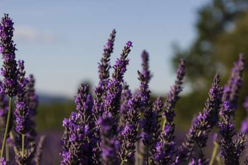 Lavender Provence France Flowers Purple Violet