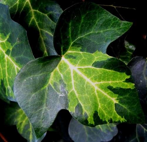 Leaf Ivy Lobed Veined Varying Greens Pattern