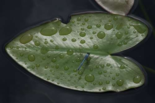 Leaf Floating Drop Of Water Dragonfly Usa Florida