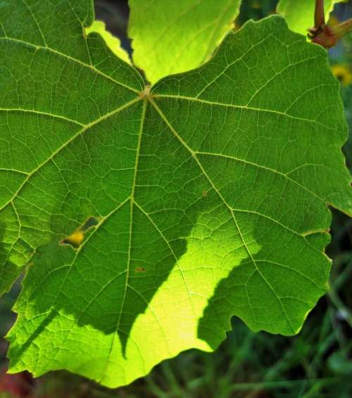 Leaf Green Vine Grape Bright Sunlight