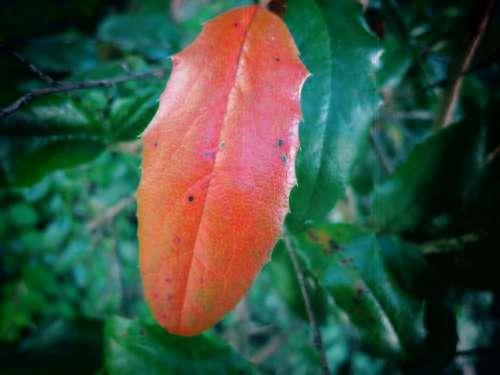 Leaf Red Leaf Color Fall Foliage