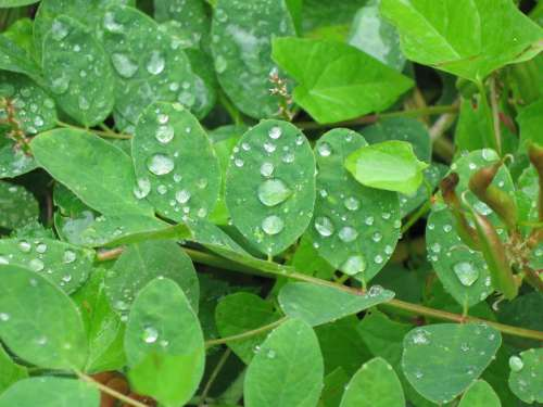 Leaf Green Drops