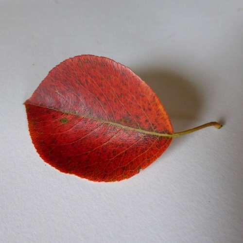 Leaf Pear Autumn Leaves Red Colorful Color