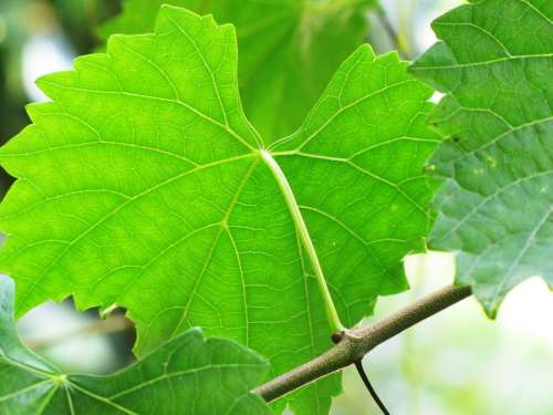 Leaves Vine Muscadine Green Fruit Nature