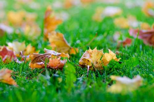 Leaves Autumn Autumnal Tree Natural Grass Red