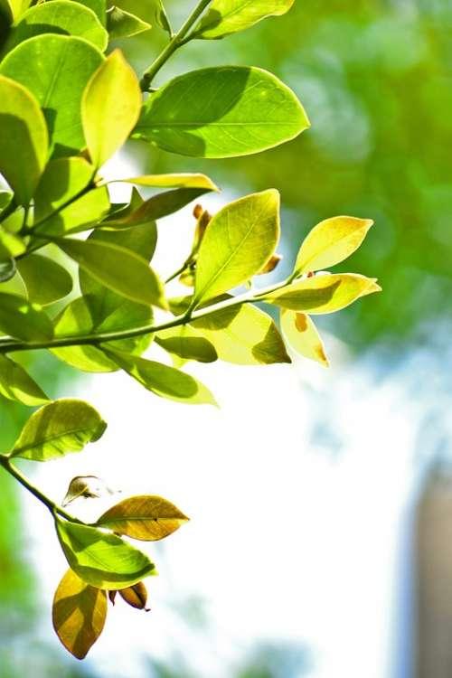 Leaves Green Leaves Nature Tree Mawanella Ceylon