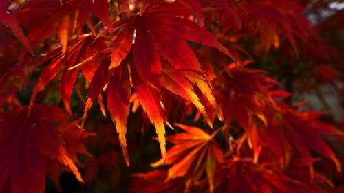 Leaves Fall Foliage Red