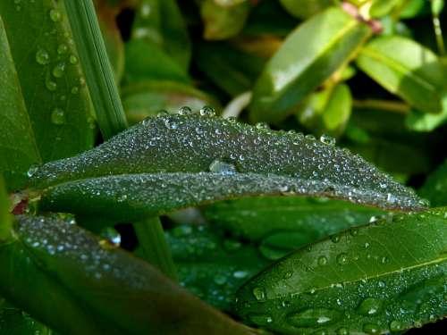 Leaves Dew Drop Morning Green Nature Macro Garden
