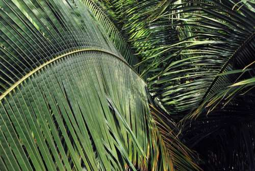 Leaves Plants Green Palm Spread Palm Leaf