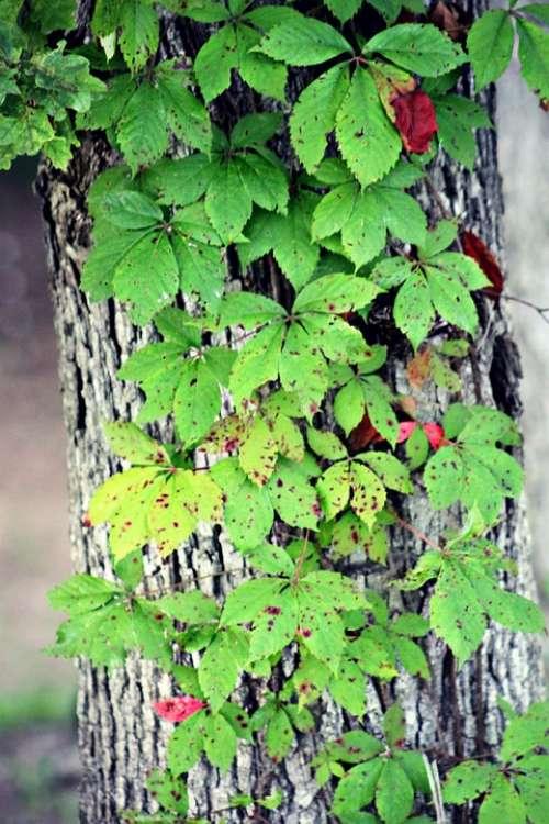 Leaves Tree Vine Summer Green Leaf