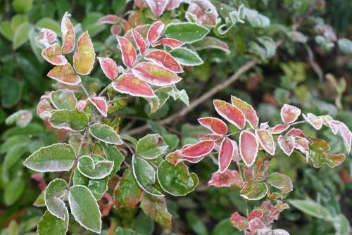 Leaves Autumn Colored Icy Laurel Hoarfrost Frozen
