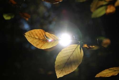 Leaves Autumn Sun Backlighting Nature Light