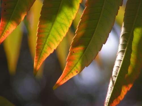 Leaves Autumn Poison Ivy Color Autumn Colors