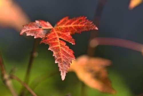 Leaves Autumn Autumn Mood Colorful Maple