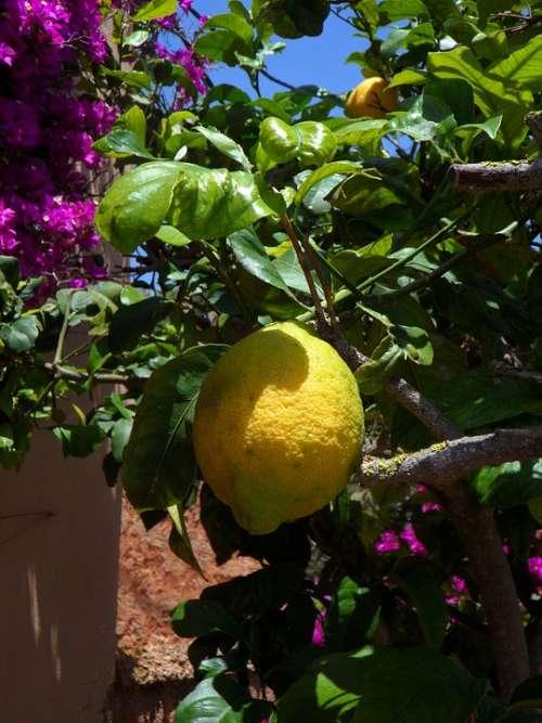 Lemon Lemon Tree Citrus Citrus Fruit Fruit Yellow