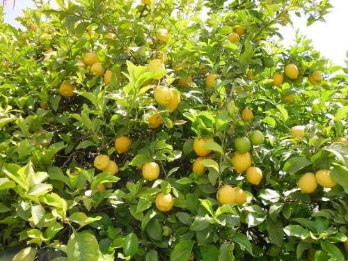Lemon Tree Tree Lemon Nature Yellow