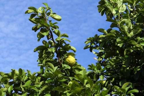 Lemon Tree Citron Fruit Sour Vitamin C Tree