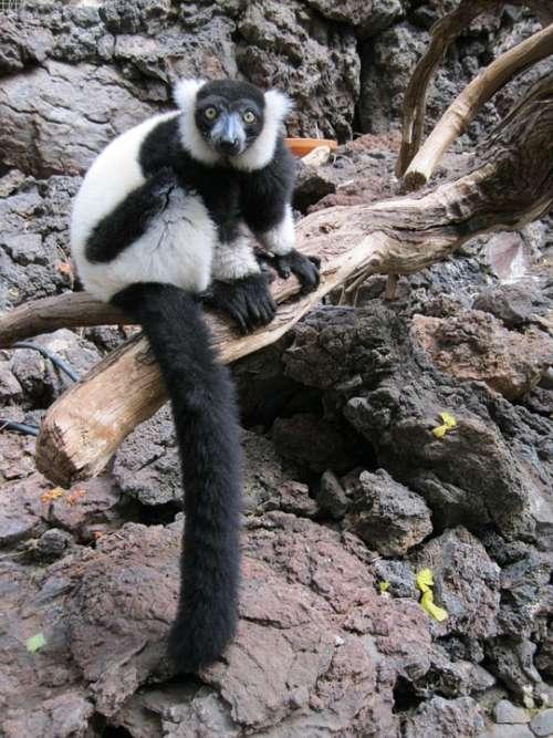 Lemur Monkey Primate Wild Mammal Zoo