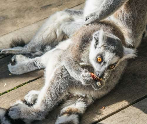 Lemur Young Eating Wildlife Outdoors Ring-Tailed