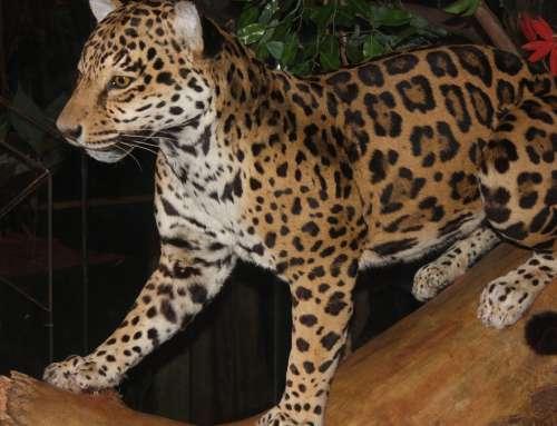 Leopard Big Cat Carnivore Feline Animal Mammal