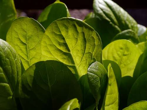 Lettuce Salad Leaves Plant Natural Botanical