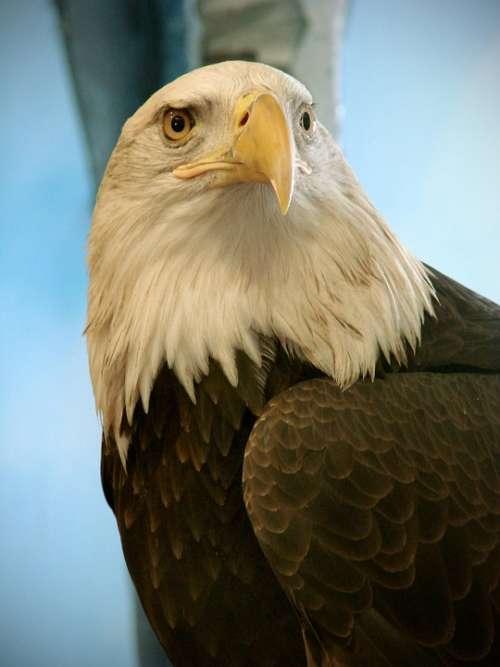 Leucocephalus Haliaeetus Bird Bald Eagle Birds