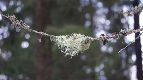 Lichen Usnea Medicinal Plant Mushroom