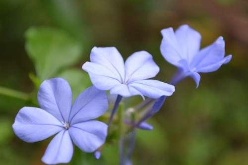 Light Violet Flower Flower Light Blue Lilies
