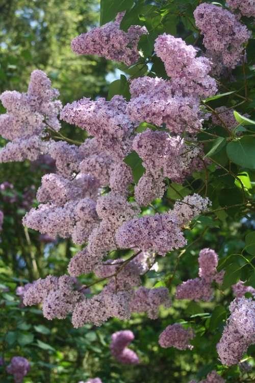 Lilac Purple Color Flowers