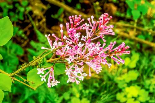 Lilac Pink Flower Nature Colorful Spring Fresh