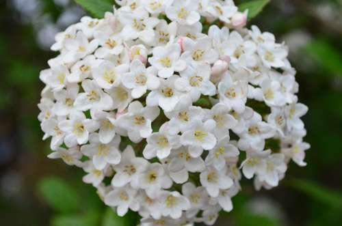 Lilac Lilac Bush Blossom Bloom White Flower