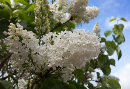 Lilac Blossom Flower Tree Branch Spring Flowers