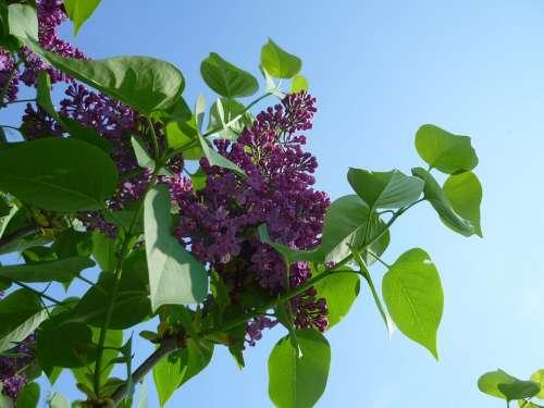 Lilac Purple Blossom Bloom Flower Bloom Tender