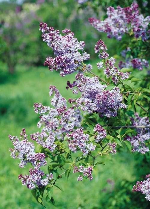 Lilac Shrub Flowers Flowering Shrub Purple Mauve