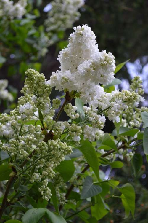 Lilac White Nature White Lilac Plant Flowers