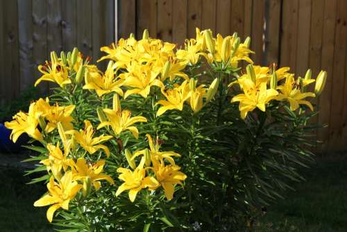 Lilies Flower Plant Flowers Yellow