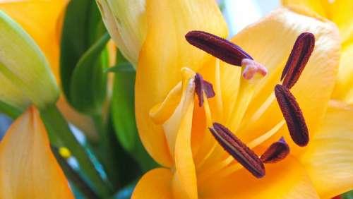 Lilies Pistil Bouquet Flower Close Up Bloom Macro