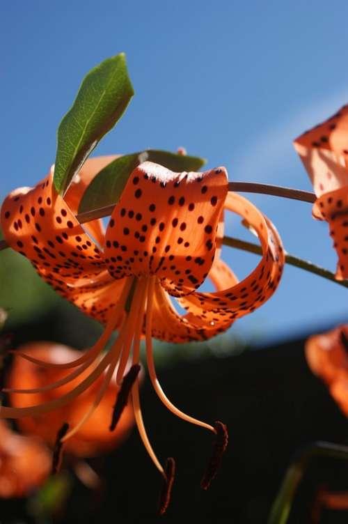 Lily Tiger Lily Daylily Orange Daylily