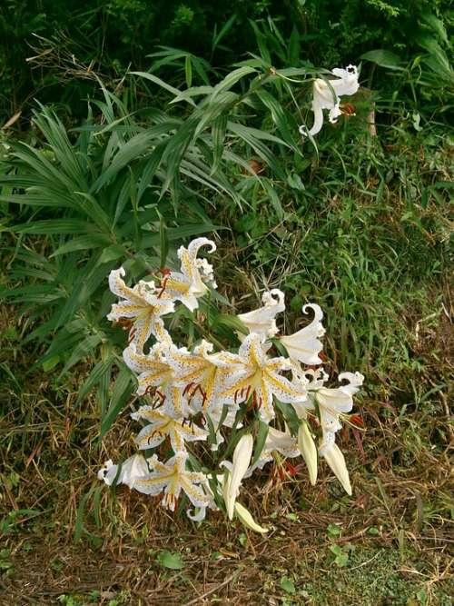 Lily Yuri Yamayuri White Lily Lily Of Japan