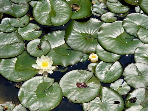 Lily Leaf Lake Water Green White Landscape
