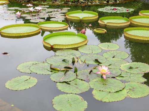 Lily Pads Pond Water Lily Lotus Nature Plant