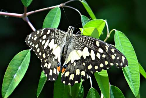Lime Butterfly Papilio Demoleus Butterfly